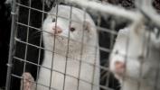 Posle kuna u Danskoj ubijaju i mačke pozitivne na korona virus