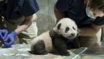 Beba panda iz zoo vrta u Vašingtonu danas dobila ime Malo čudo