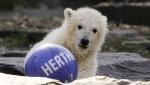 Berlinski zoo vrt nazvao mladunče medveda po gradskom fudbalskom klubu (VIDEO)