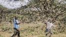 U istočnoj Africi najveća najezda skakavaca u poslednjih 25 godina