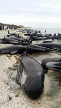 Vlasti uklanjaju uginule kitove (VIDEO)