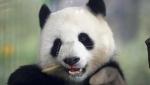 Poslednji američki rodjendan pande