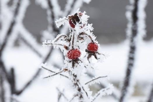 Mraz ugrozio rod voća u Topličkom okrugu