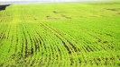 Hladnoća po golomrazici štetna za pšenicu, za voćke nema opasnosti