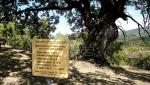 Džinovski hrast kod Bele Palanke nema deblo, ali lista (FOTO)