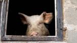 Proizvodjači svinja: Evropa ima višak svinjskog mesa i izvozi prasiće u Srbiju