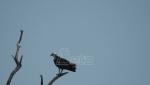U Ritovima donjeg Potisja uočena retka ptica orao ribar (VIDEO)