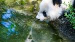 Dve pande rodjene u zatočeništvu predstavljaju nadu u opstanak vrste