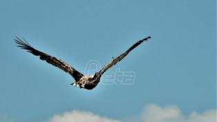 Ženka orla belorepana ponovo u prirodi
