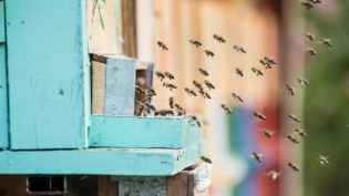 Prvi azil za pčele otvoren u Beogradu