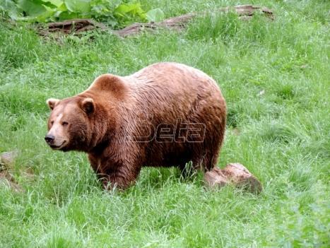 Mrki medved usmrtio 16-godišnjeg dečaka na Aljasci