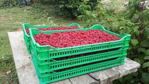 The yield of raspberries and blackberries is about 50 percent lower than the average