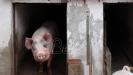 Severna Makedonija zabranila uvoz svinja i svinjskog mesa iz Srbije