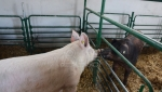 Poskupljenje svinjskog mesa posledica prekomernog uvoza