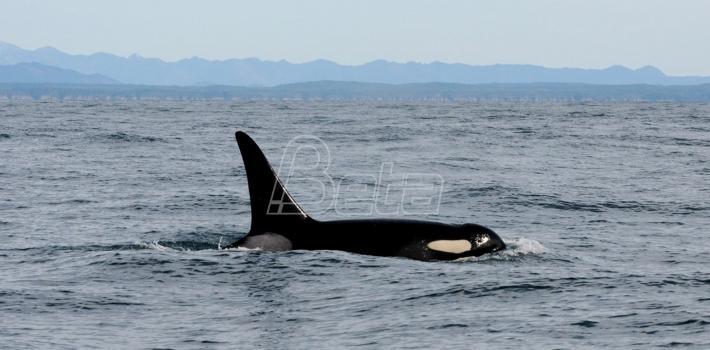 Centar za praćenje kitova: Uginula najstarija orka (VIDEO)