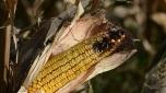 Kiša spasila ovogodišnji rod kukuruza od propasti zbog suše