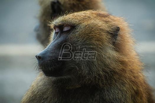 Majmun ostavio desetine hiljada ljudi bez struje