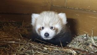 U berlinskom zoološkom vrtu rodjeno mladunče retke crvene pande