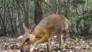 Retka vrsta sisara nalik jelenu fotografisana na jugu Vijetnama
