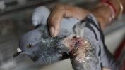 Puštanje zmajeva za Dan nezavisnosti Indije ranjava veliki broj ptica