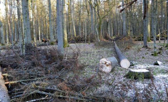 Umetnici traže prekid seče poljske prašume