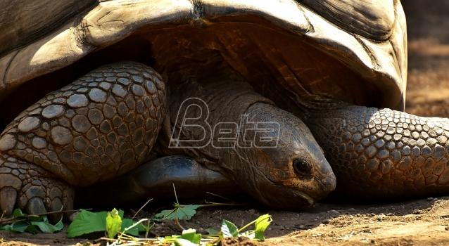 U Japanu pronadjena odbegla kornjača (VIDEO)