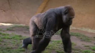 Gorile iz San Dijega se oporavljaju od KOVIDA-19 (VIDEO)