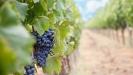 Nemačka bez 'ledenog vina' zbog tople zime