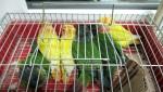 Carinici sprečili krijumčarenje četiri goluba i devet papagaja