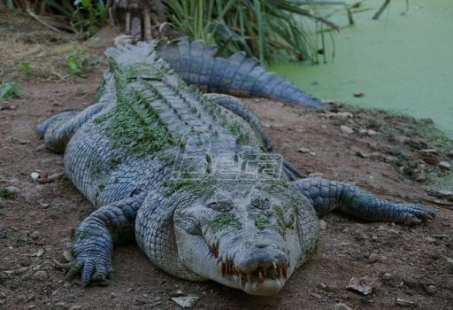 U Australiji potraga za krokodilom koji je ubio dementnu ženu
