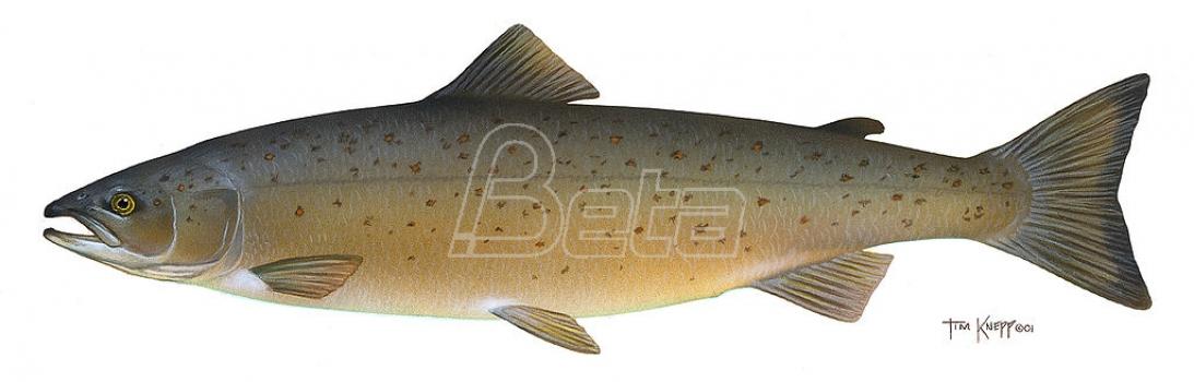 Sve manji broj lososa vraća se u reke Severne Amerike