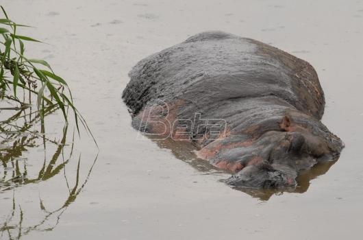 Antraks mogući uzrok smrti više od 100 nilskih konja