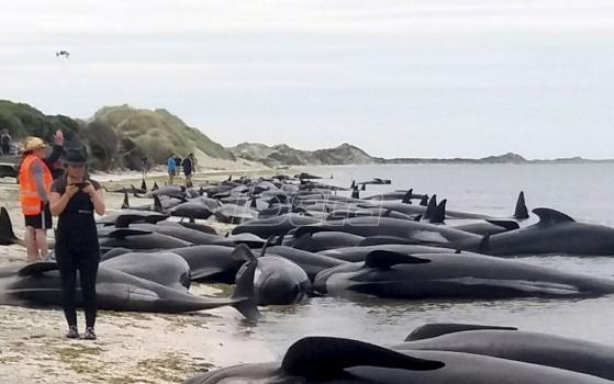 Dobrovoljci na Novom Zelandu spasavaju 400 nasukanih kitova