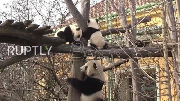 Pande blizanci iz zoološkog vrta u Beču proslavile prvi rodjendan (VIDEO)