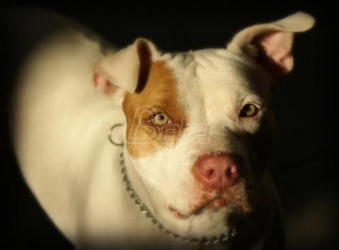 Kvebek priprema zabranu pasa rase pitbul