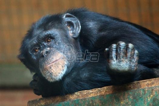 Sud odlučuje da li je šimpanza ličnost