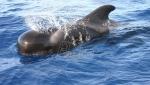 U utrobi kljunastog kita pronadjeno 16 kilograma plastičnog otpada