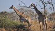 Žirafa ubila snimatelja u južnoafričkom rezervatu